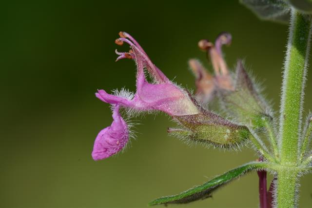 Wall Germander (Teucrium chamaedrys) photo