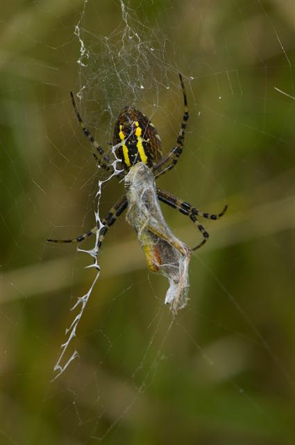 Wasp Spider (Argiope bruennichi) photo
