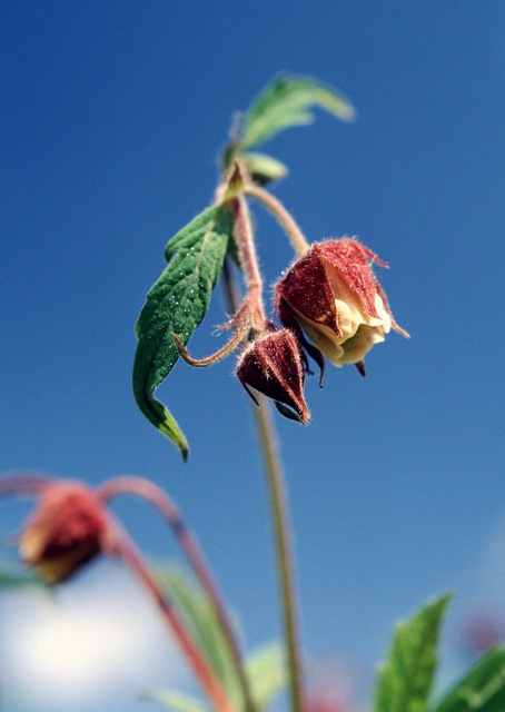 Water Avens (Geum rivale) photo
