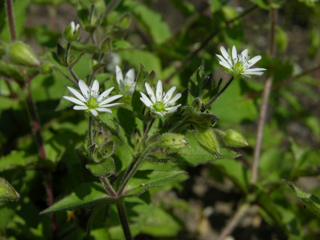 Water Chickweed (Myosoton aquaticum) photo