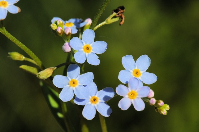 Water Forget-me-not (Myosotis scorpioides) photo
