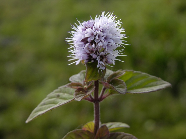 Water Mint (Mentha aquatica) photo