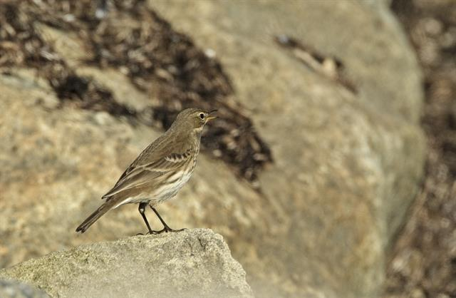 Water Pipit (Anthus spinoletta) photo