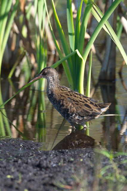 Water Rail (Rallus aquaticus) photo
