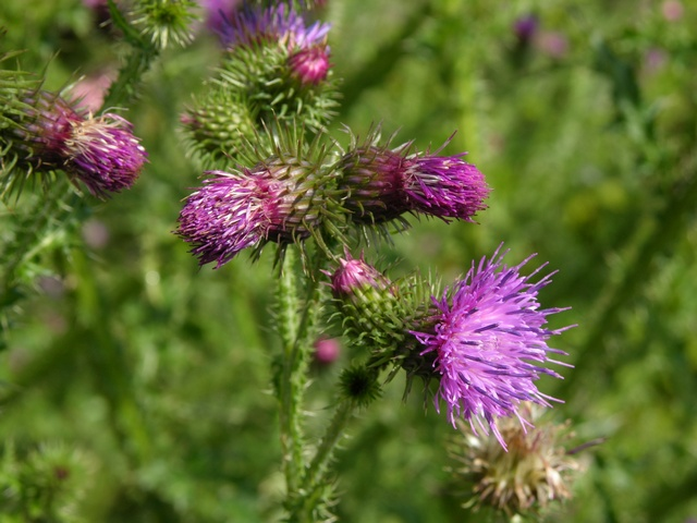 Welted Thistle (Carduus acanthoides) photo