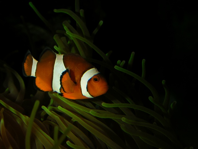 Western Clownfish, False Clown Anemonefish (Amphiprion ocellaris) photo