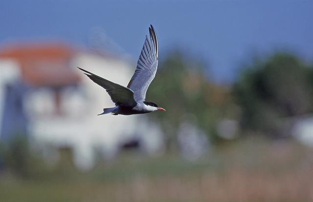 Whiskered tern (Chlidonias hybrida) photo