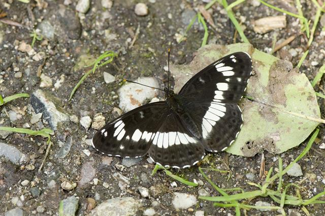 White Admiral (Limenitis camilla) photo