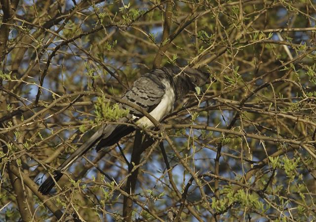 White-bellied Go-away-bird (Corythaixoides leucogaster) photo