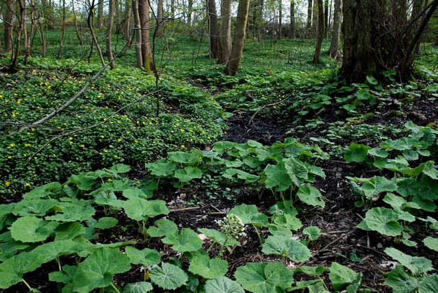 White Butterbur (Petasites albus) photo