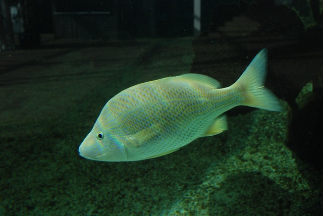 White grunt, Common grunt (Haemulon plumierii) photo