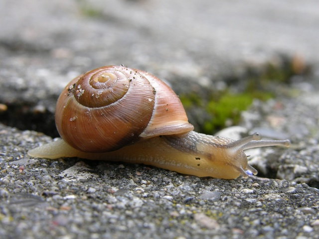 White-lipped Snail (Cepaea hortensis) photo