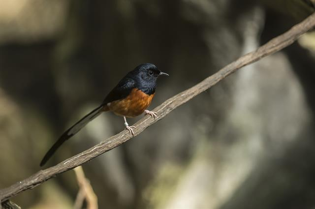 White rumped Shama (Copsychus malabaricus) photo