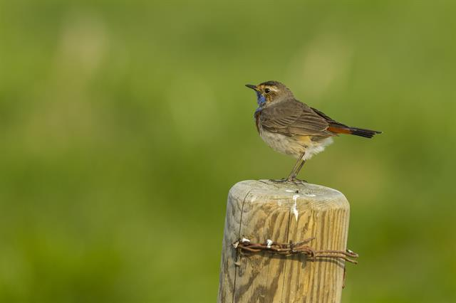 White-spotted Bluethroat (Luscinia svecica ssp. cyanecula) photo