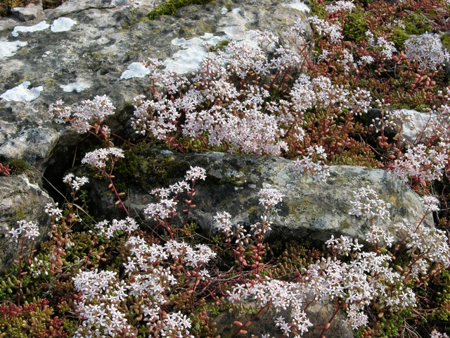 White Stonecrop (Sedum album) photo