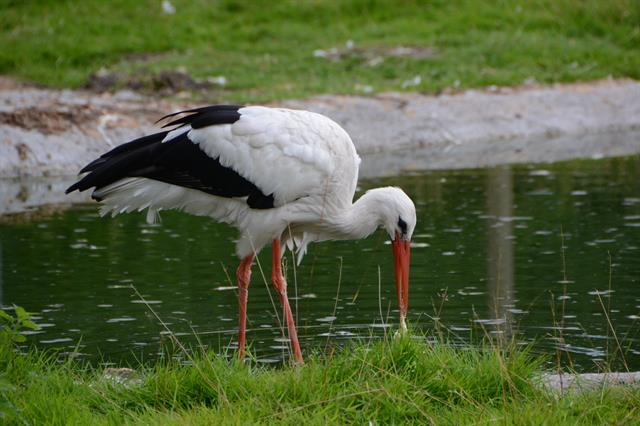White Stork (Ciconia ciconia) photo