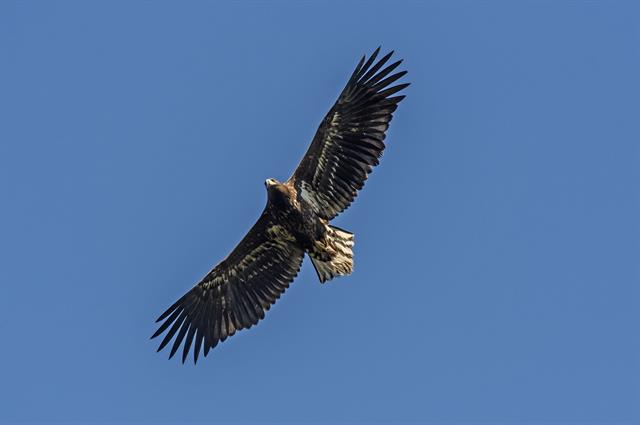 White-tailed Eagle (Haliaeetus albicilla) photo