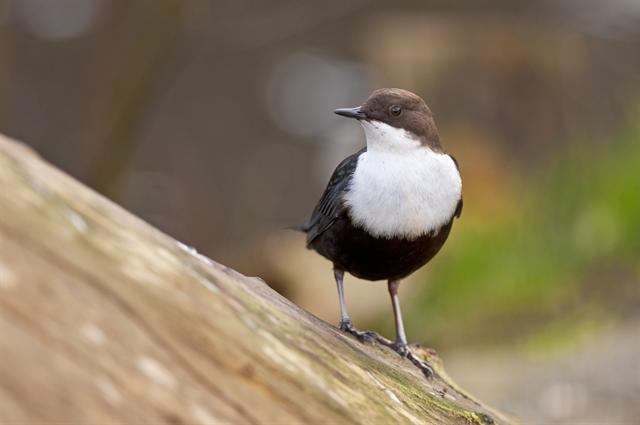 White-throated Dipper (Cinclus cinclus) photo