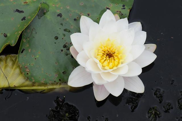 White Water-Lily (Nymphaea alba) photo
