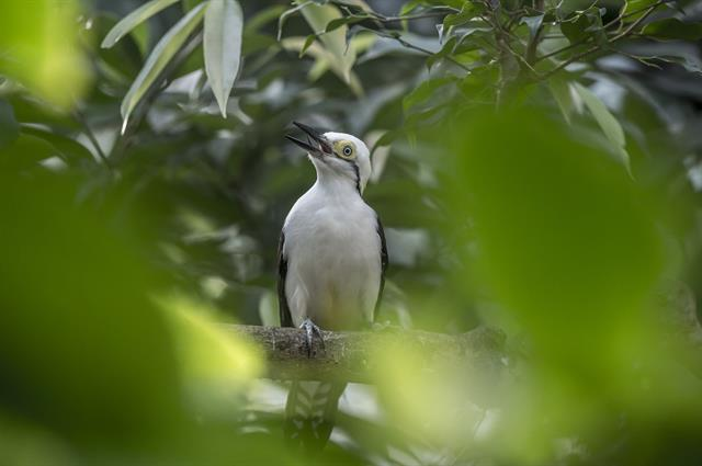 White woodpecker (Leuconerpes candidus) photo