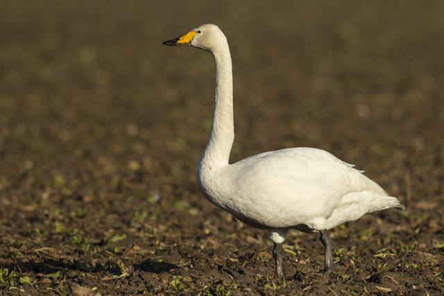 Whooper Swan (Cygnus cygnus) photo