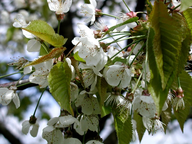 Wild Cherry (Prunus avium) photo