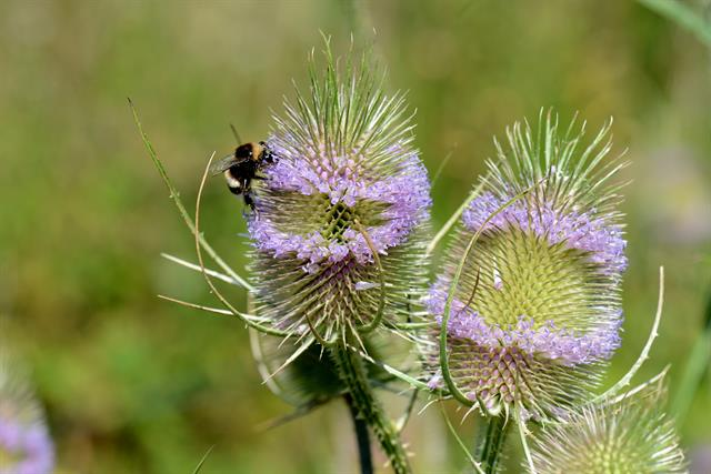Wild Teasel (Dipsacus fullonum) photo