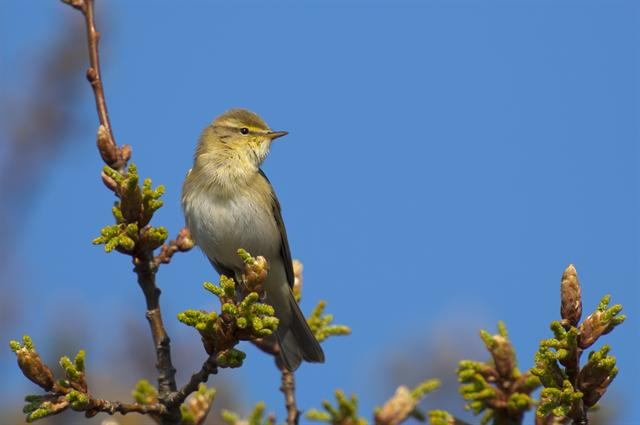 Willow Warbler (Phylloscopus trochilus) photo