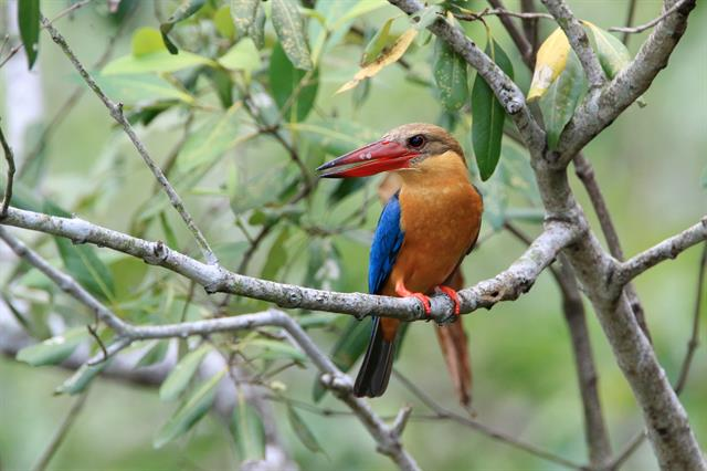 Storck-billed Kingfisher (Pelargopsis capensis)