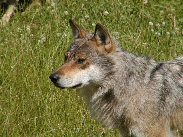 Wolf (Canis lupus) photo