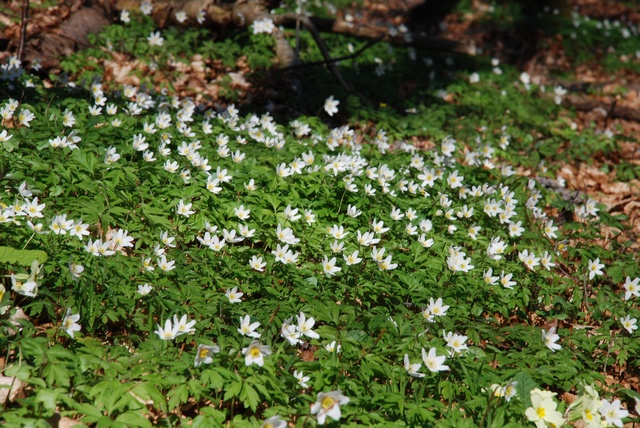 Wood Anemone, Windflower (Anemone nemorosa) photo