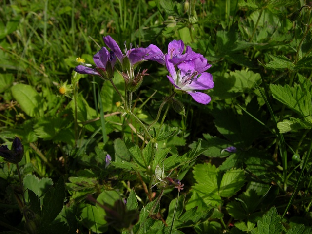 Wood Crane (Geranium sylvaticum) photo