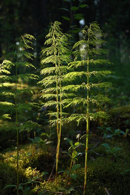 Wood Horsetail (Equisetum sylvaticum) photo