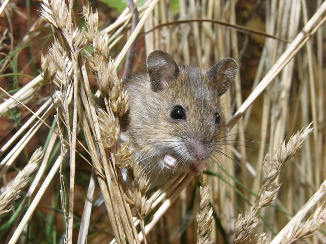 Wood mouse,  Long-tailed field-mouse (Apodemus sylvaticus) photo