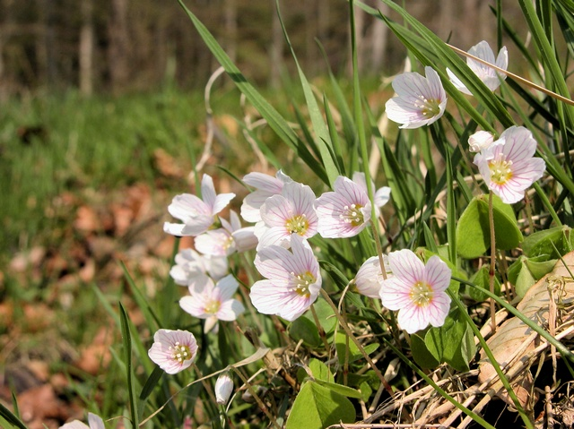 Wood Sorrel (Oxalis acetosella) photo