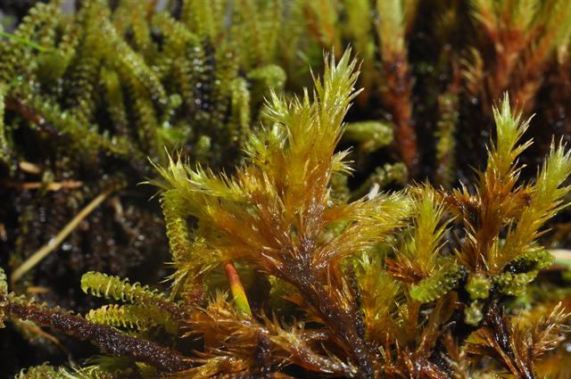 Woolly Feather-moss (Tomentypnum nitens) photo