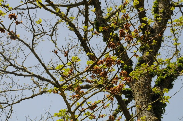 Wych Elm (Ulmus glabra) photo