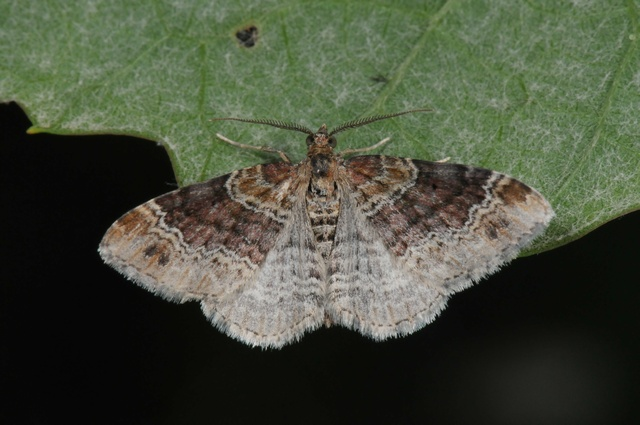 Dark-barred Twin-spot Carpet (Xanthorhoe ferrugata)