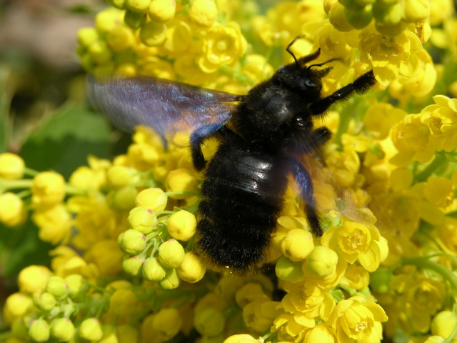 Carpenter Bee (Xylocopa violacea)