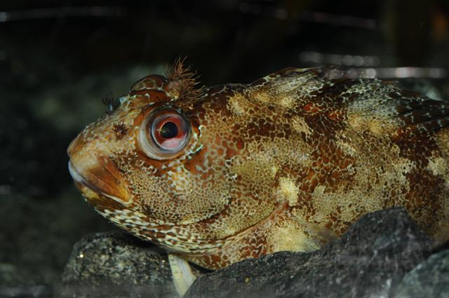 Yarrell´s blenny (Chirolophis ascanii) photo