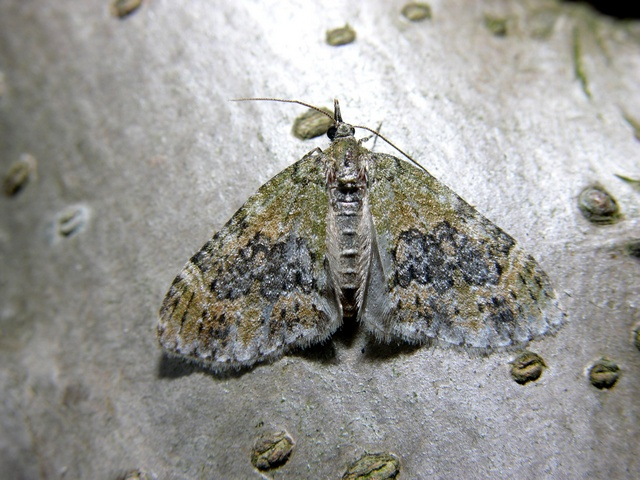 Yellow-barred Brindle (Acasis viretata) photo