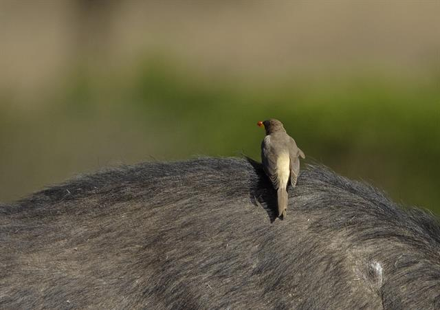 Yellow-billed Oxpecker (Buphagus africanus) photo