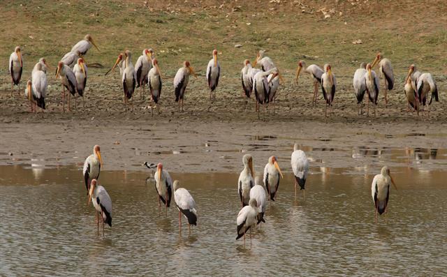 Yellow-billed Stork (Mycteria ibis) photo