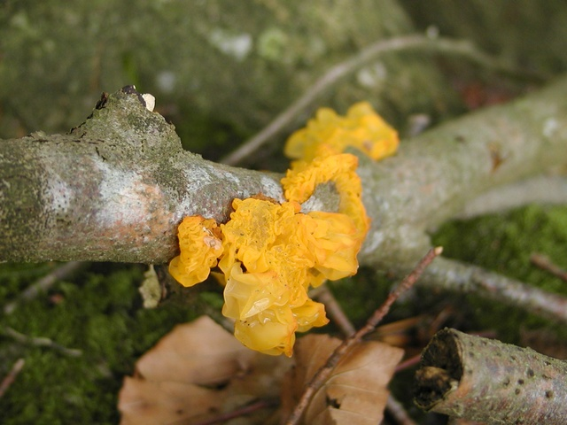 Yellow Brain (Tremella mesenterica) photo