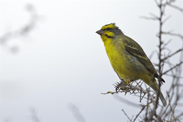 Yellow-fronted Canary (Crithagra mozambica) photo