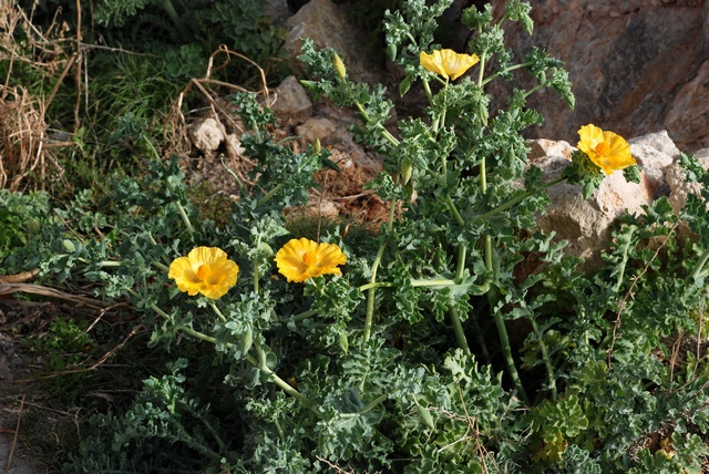 Yellow Horned-poppy (Glaucium flavum) photo