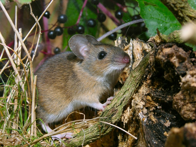 Yellow-necked mouse (Apodemus flavicollis) photo