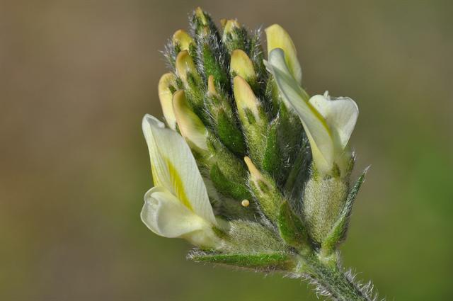 Yellow Oxytropis (Oxytropis campestris) photo