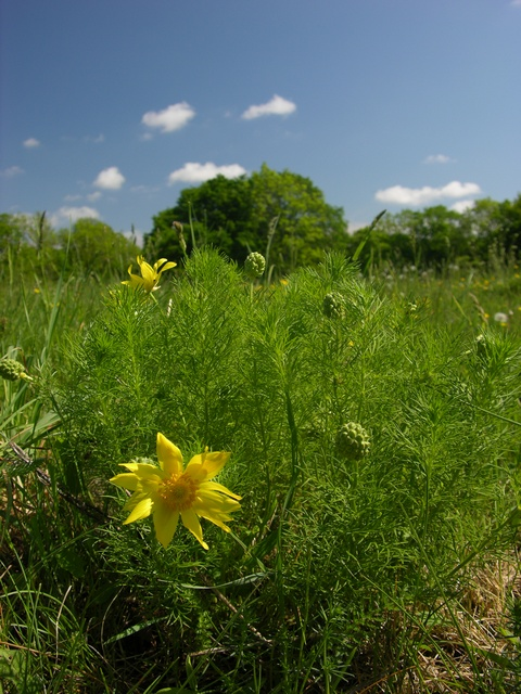 Yellow Pheasant´s-eye (Adonis vernalis) photo