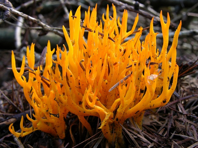 Yellow Stagshorn (Calocera viscosa) photo